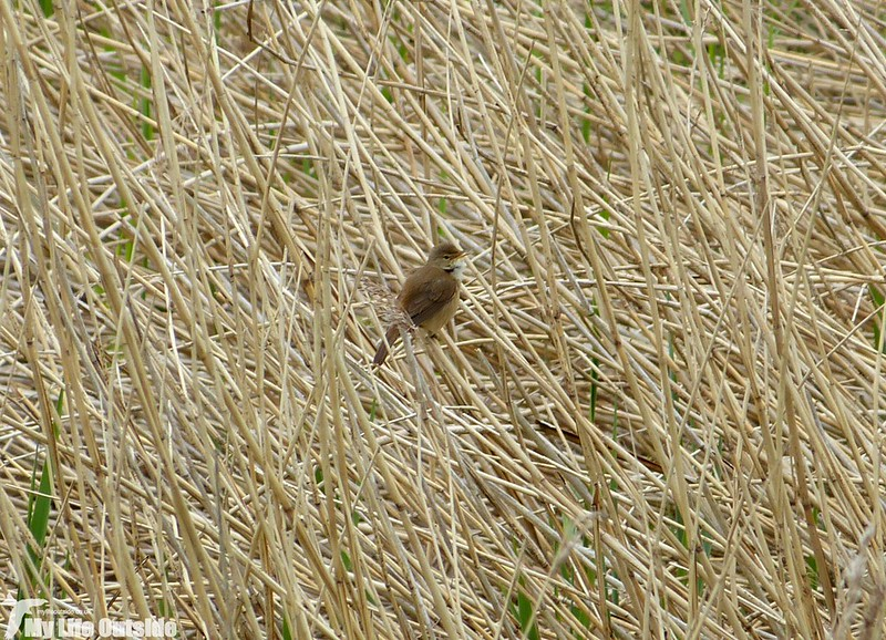 P1120835 - Reed Warbler, Carsington Water