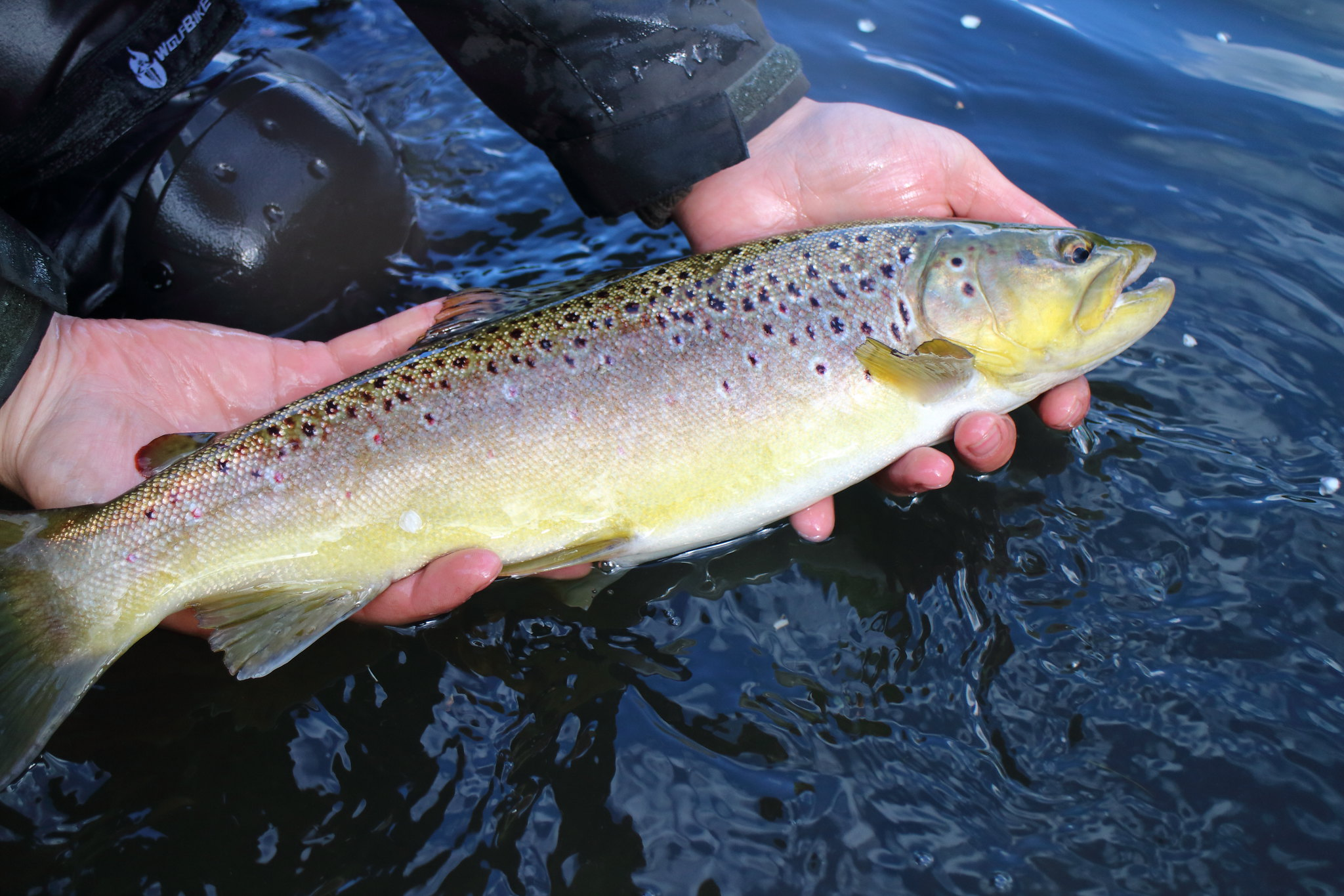 "17"" Wild Brown Trout"
