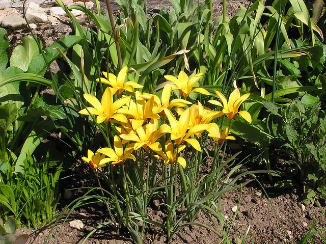 ulipa clusiana var. chrysantha
