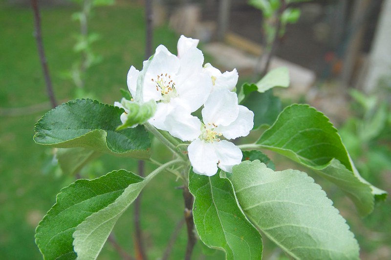 127/365. first blossoms on our new transparent apple tree.