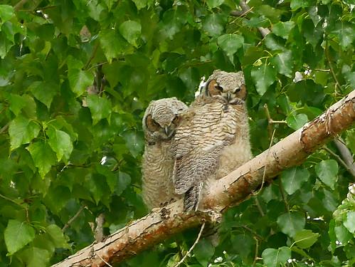 Great-horned Owls 5.22.2015  Market Lake NWR