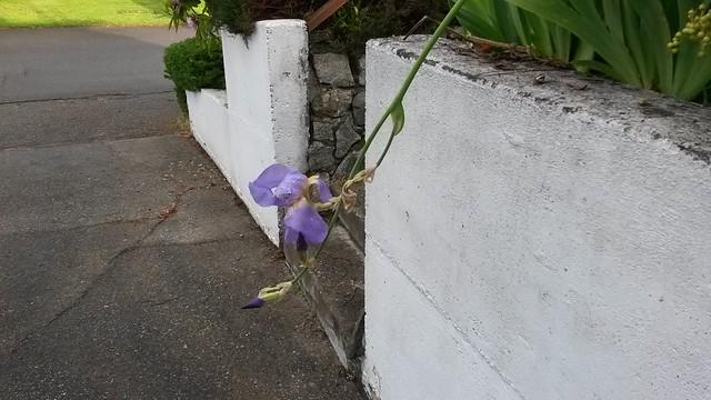 Driveway iris
