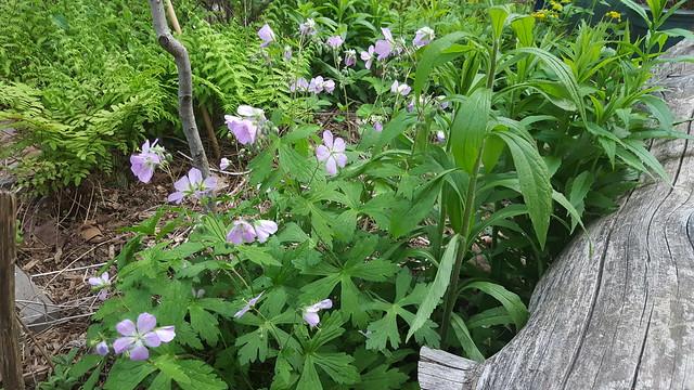 Geranium maculatum, wild geranium