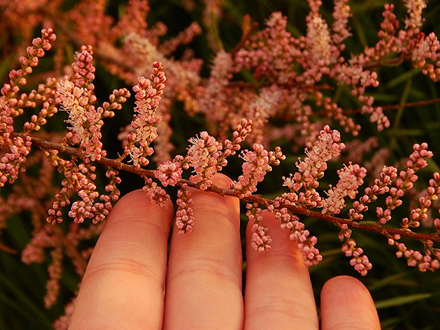 крымский розовый цветочек | horoshogromko.ru
