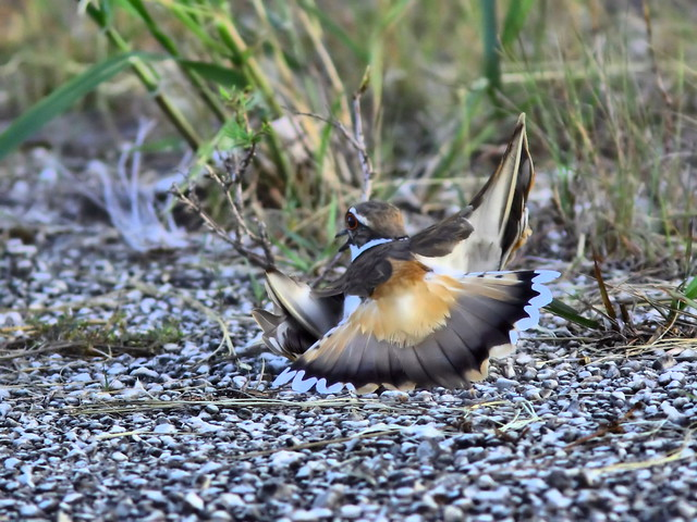 Killdeer display HDR 20150527