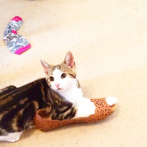why my cats are mental - pickles loves shoes