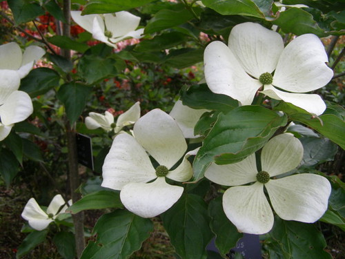 cornus kousa venus nigel philpott exbury gardens flickr. Black Bedroom Furniture Sets. Home Design Ideas