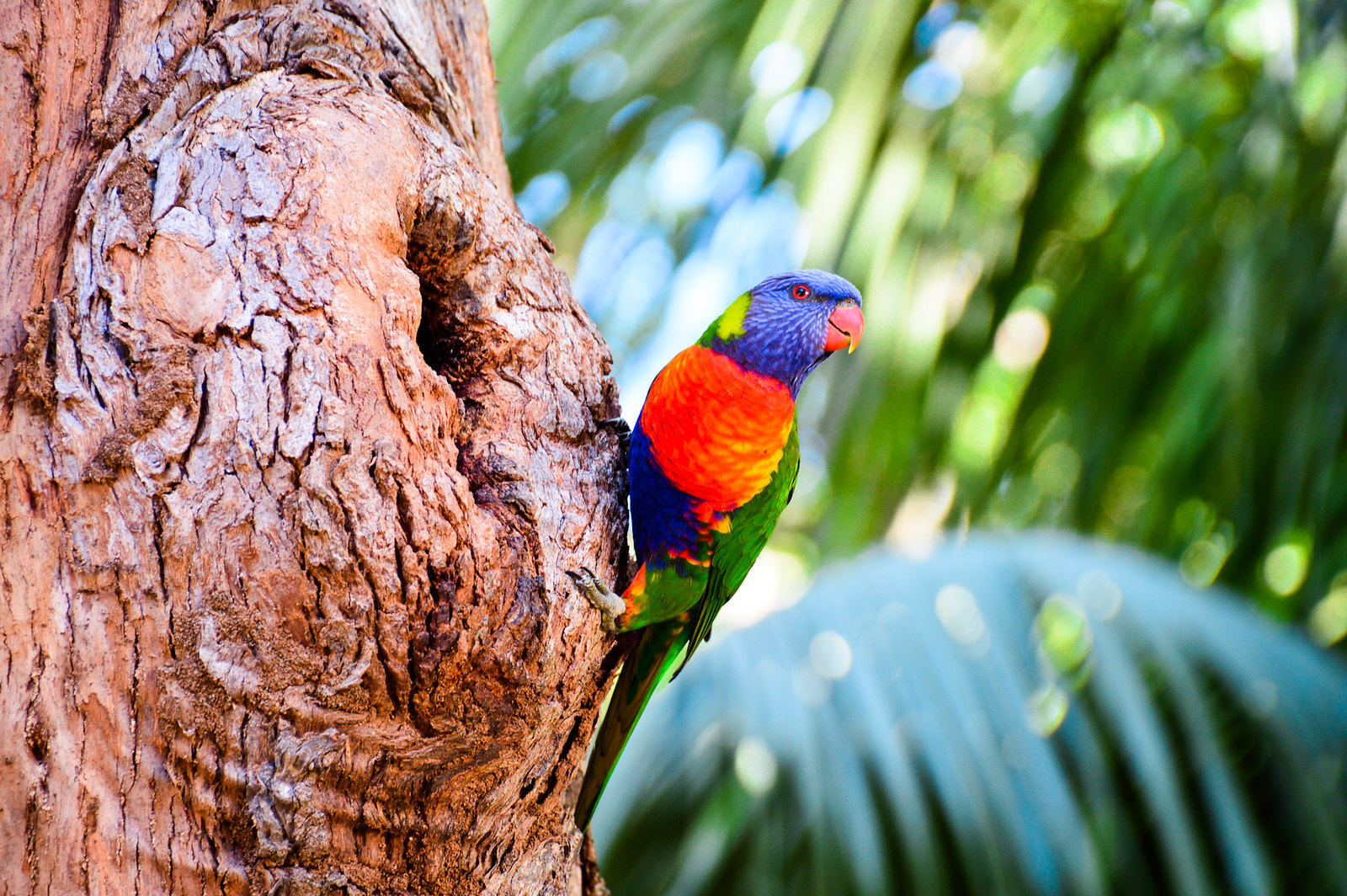 Currumbin Wildlife Sanctuary Rainbow Lorikeet