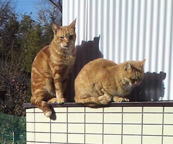 塀の上に乗る2匹の茶トラ猫