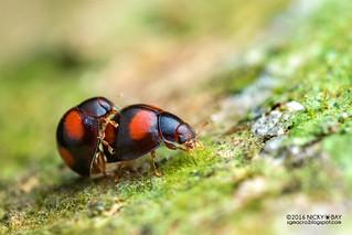 Ladybirds (Sticholotis sp.) - DSC_1356