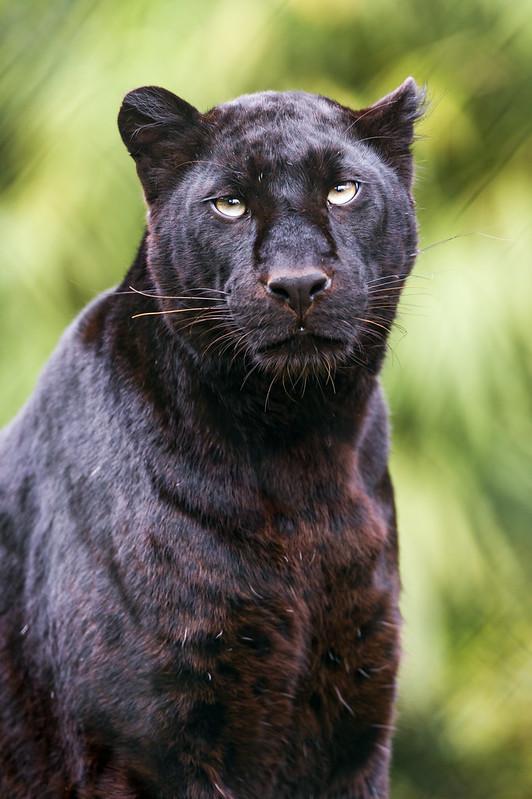 Black leopard looking a bit upwards