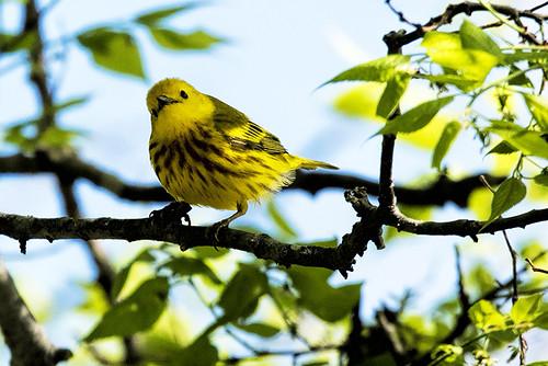 Jamaica Bay WR: Yellow Warbler