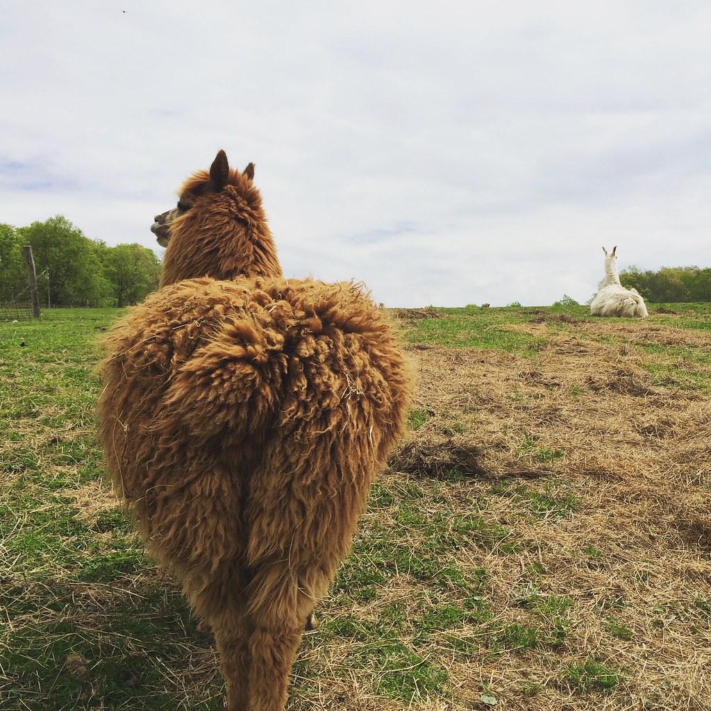 An alpaca and llama