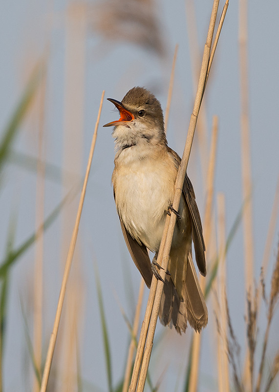 Great Reed Warbler 2015-05-17 at 05-19-49 (2)