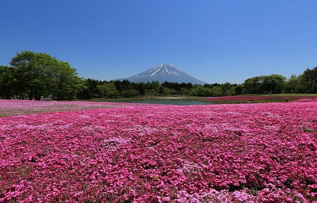 Mt. Fuji / 富士芝櫻季