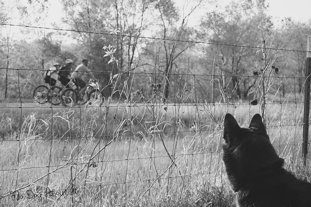Dog watching bicyclists in b&w
