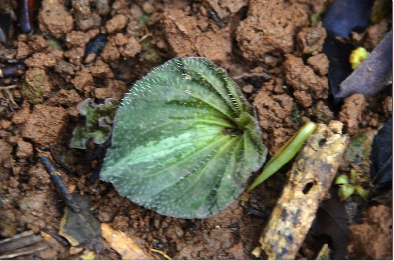 紫背脈葉蘭(葉) 1