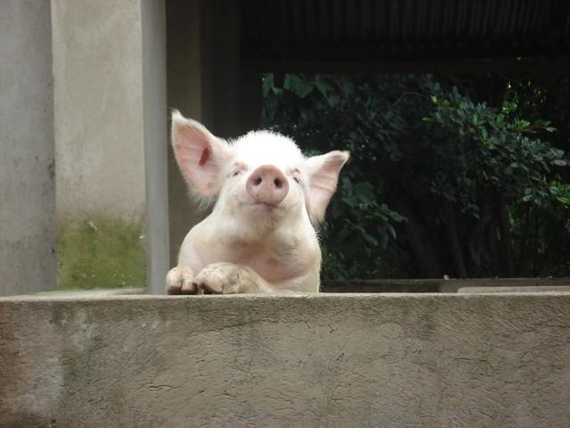 Pig in Mukono, Uganda
