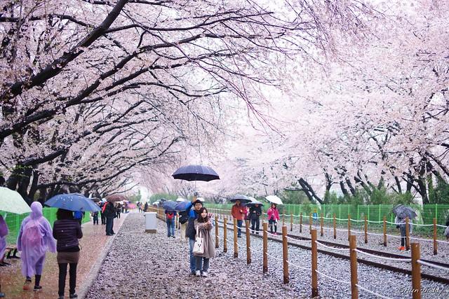 Photo under Sakura