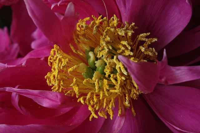 Peony Pollen