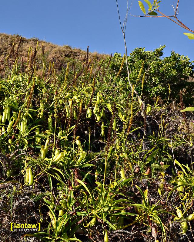 Pitcher plant colony