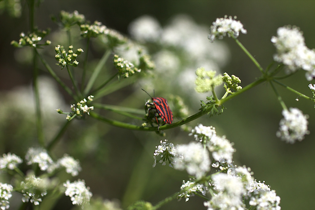 La chinche rayada (Graphosoma lineatum italicum)