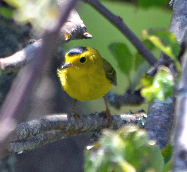 DSC_5316 Wilson's Warbler (Cardellina pusilla) Frenchboro Maine MAY29 2015 MJGood
