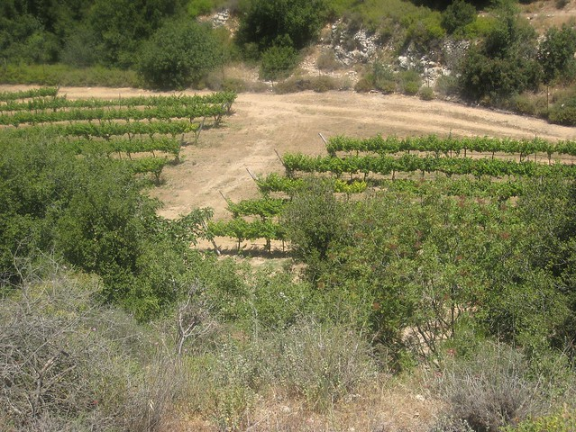 hikes_Vineyards_near_Hirbet_Itab