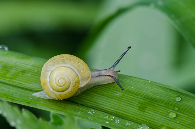 White-lipped snail, Garten-Bänderschnecke [Cepaea hortensis]