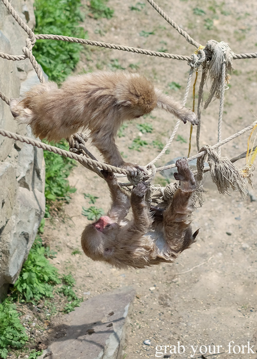 Baby snow monkeys playing on the jungle gym in Nagano, Japan