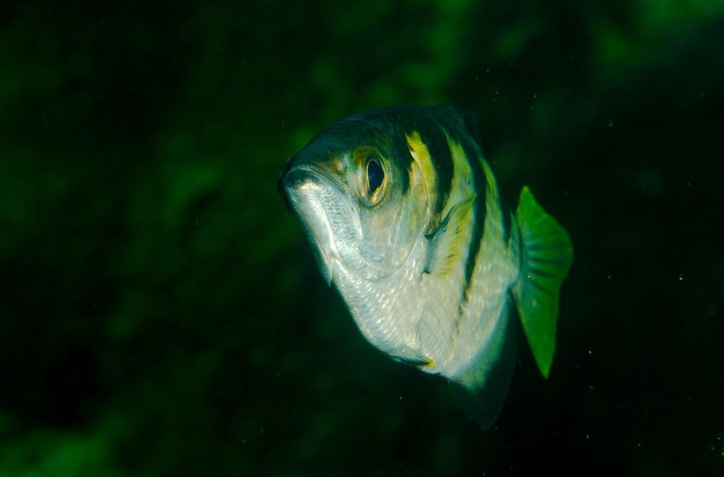 Archer Fish_1