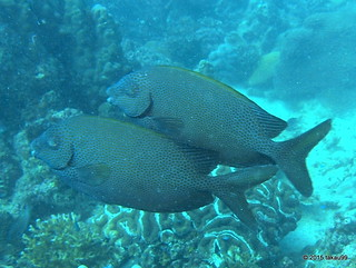 Goldspotted spinefoot