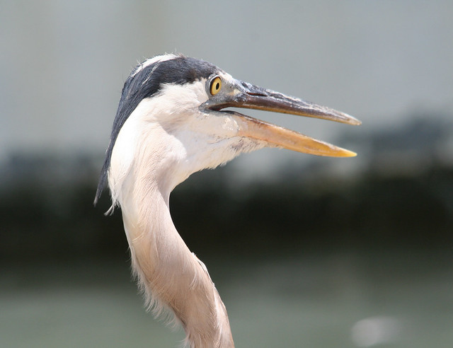 great blue heron 01