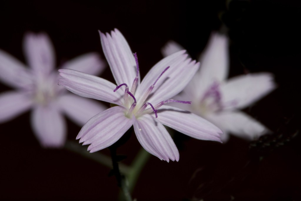 Wildflower - Small Wirelettuce, (Stephanomeria exigua)