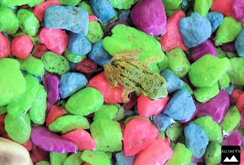 pacific treefrog 2 allthevs.com