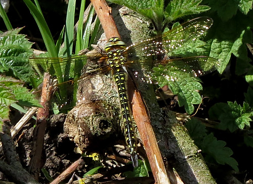 Hairy Dragonfly Brachytron pratense Tophill Low NR, East Yorkshire May 2015