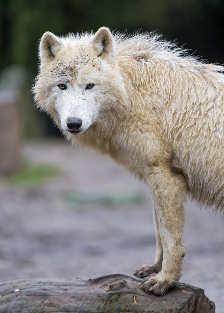 Standing arctic wolf looking at me