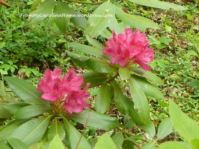 Rhododendron May 2015 -4
