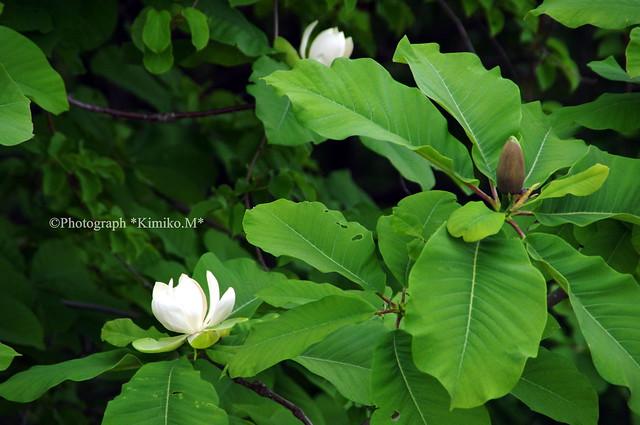 朴の木の花2