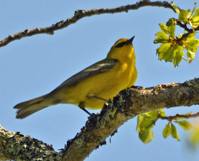 DSC_5360 Blue-winged Warbler (Vermivora cyanoptera ) FRENCHBORO Maine MAY29 2015 MJGood