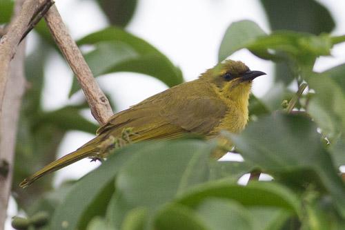 Yellow Honeyeater