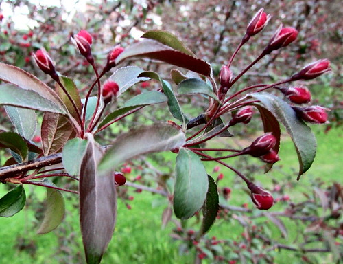 Crabapple Buds Bursting