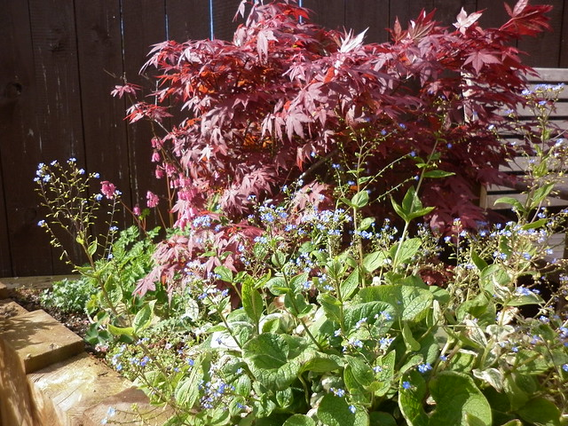 Little acer and big brunnera and dicentra!