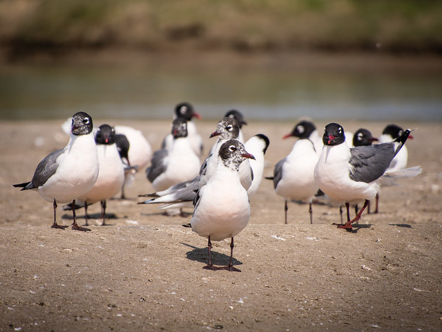 Franklin's gulls