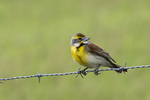 Louisiana: Dickcissel on the Wire