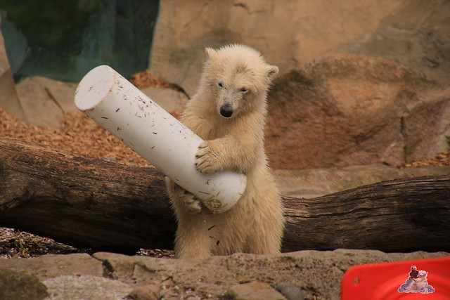 Eisbär Lili im Zoo am Meer 15.05.2016  43