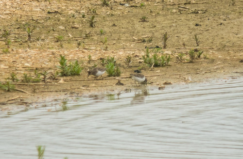 2 Temminck's Stints, Broom GP, 23rd May 2015