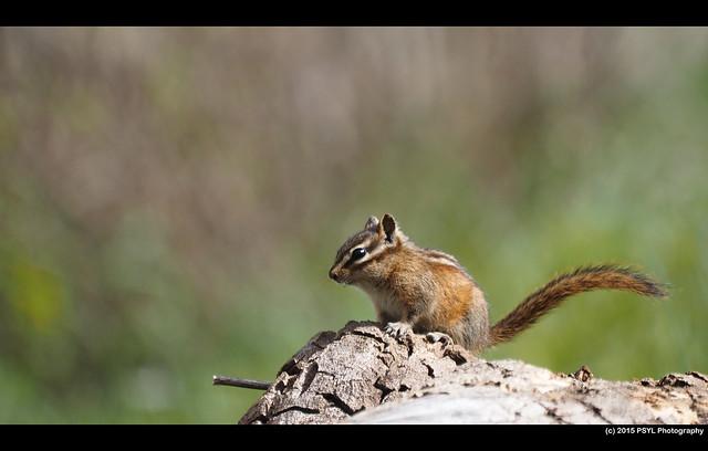 Least chipmunk (Tamias minimus)