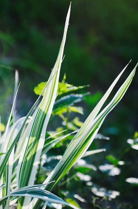 オリヅルラン成長する