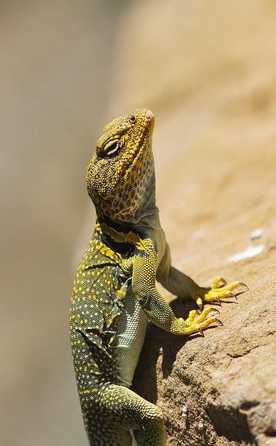 Lizard 7d_1989